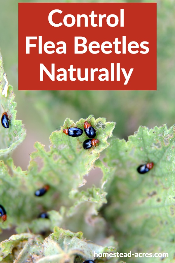 Control Flea Beetles Naturally text overlaid on a photo of red and black flea beetles