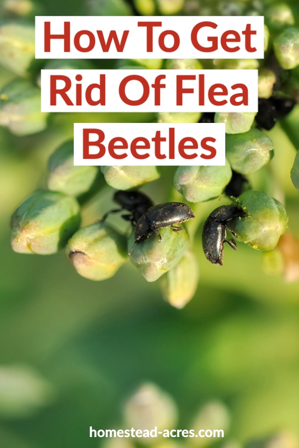 How To Get Rid Of Flea Beetles text overlaid on a close up photo of black flea beetles