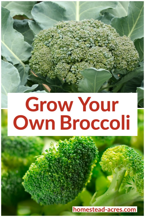 Grow Your Own Broccoli text overlaid on a photo collage of broccoli growing in the garden and freshly harvested florets