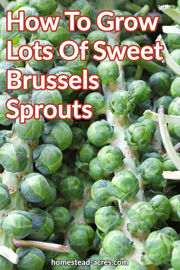 How To Grow Lots Of Sweet Brussels Sprouts text overlaid on a photo of many brussels sprout stocks