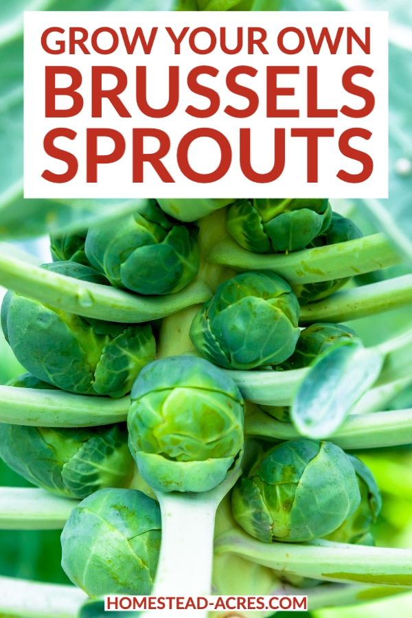 Grow Your Own Brussels Sprouts text overlaid on a close up photo of a brussel sprout plant