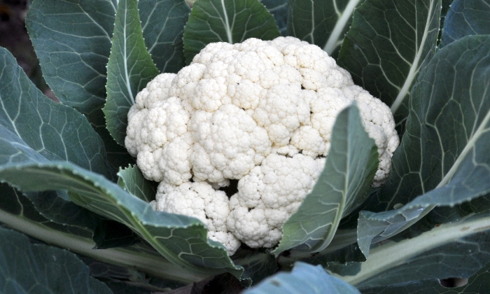 Cauliflower plant fully grown