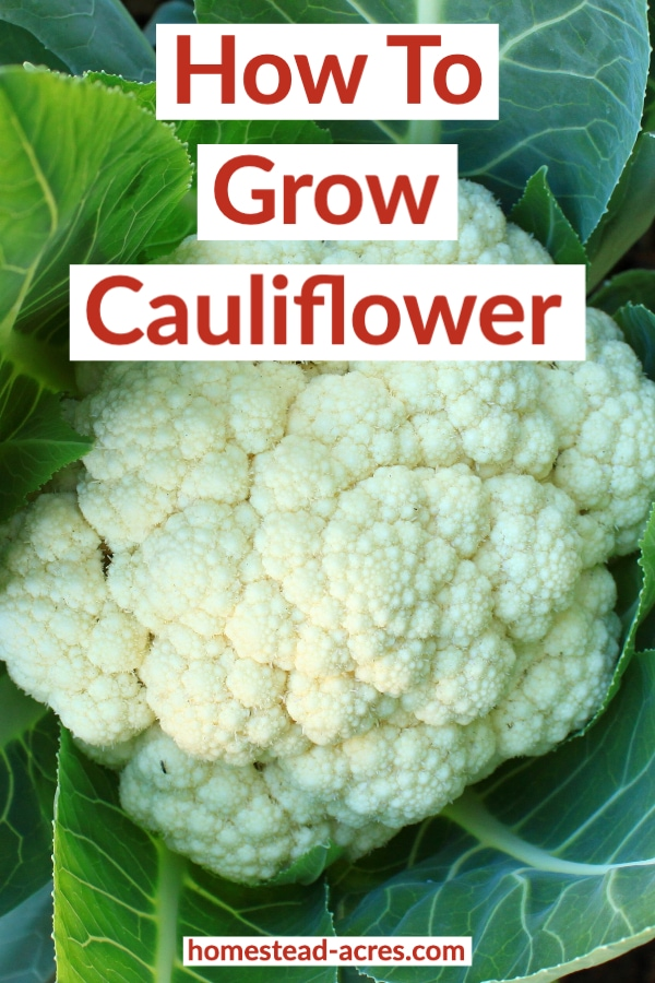 How To Grow Cauliflower text overlaid on a close up photo of a cauliflower plant