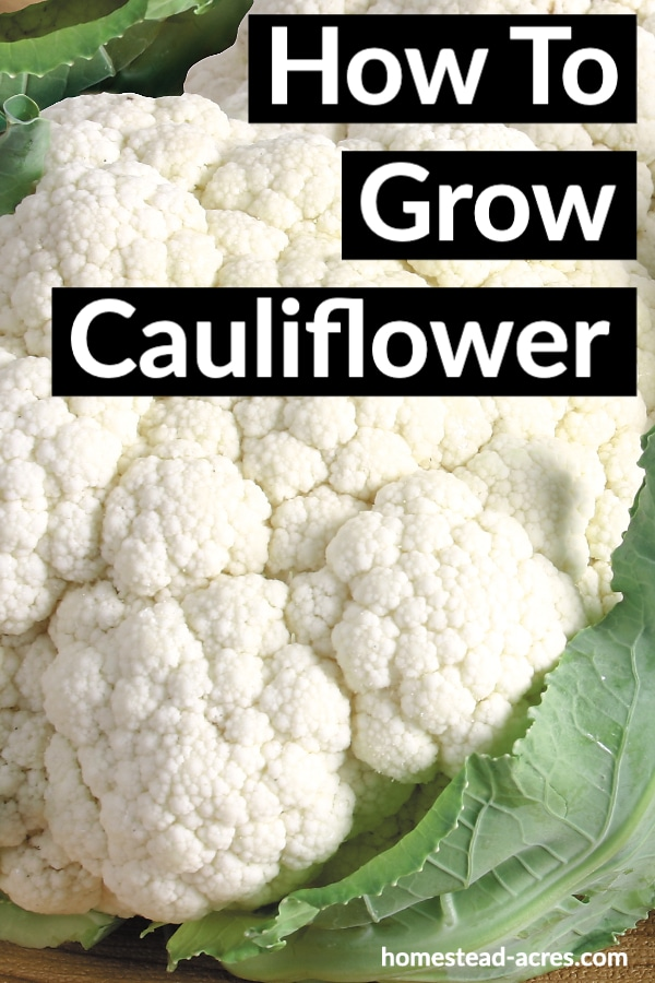 How To Grow Cauliflower text overlaid on a close up photo of fresh cauliflower