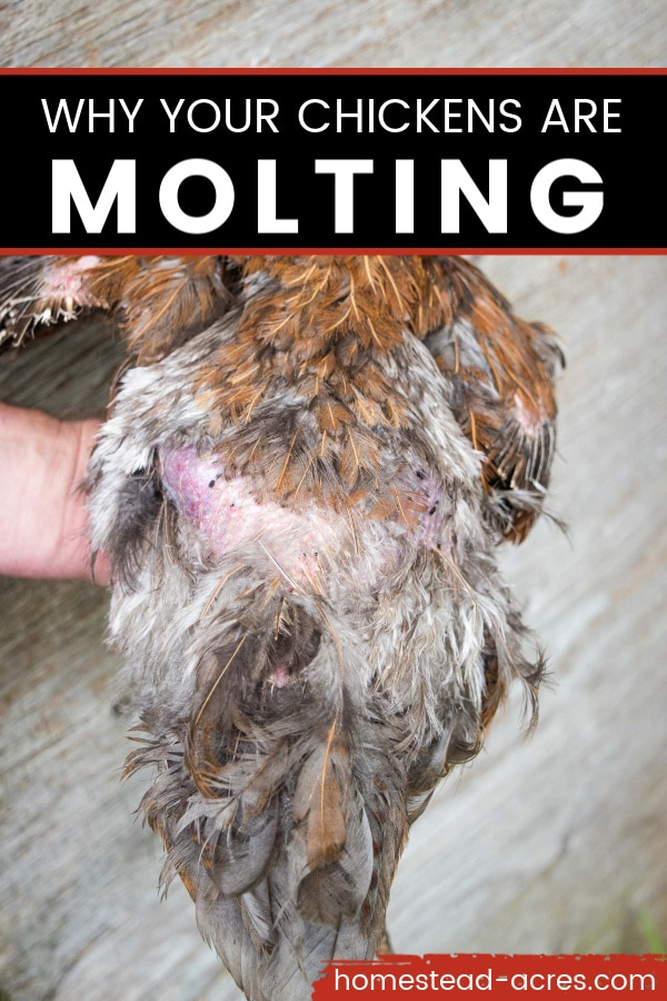 Why your chickens are molting text overlaid on a photo of a red hen losing her back feathers.