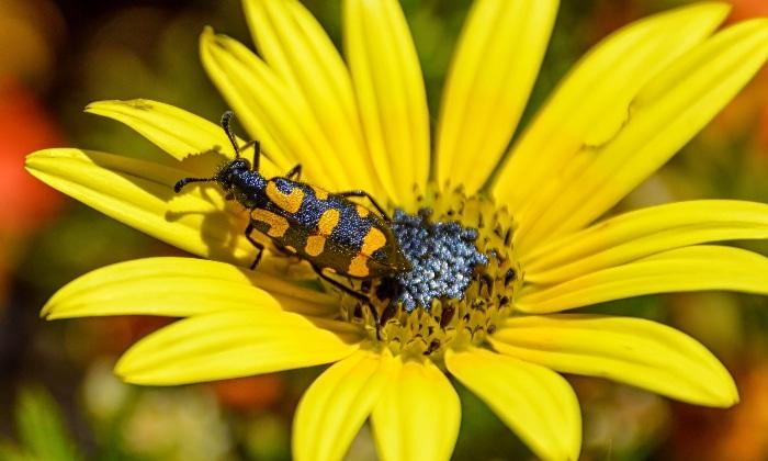 Black and orange blister beetle.