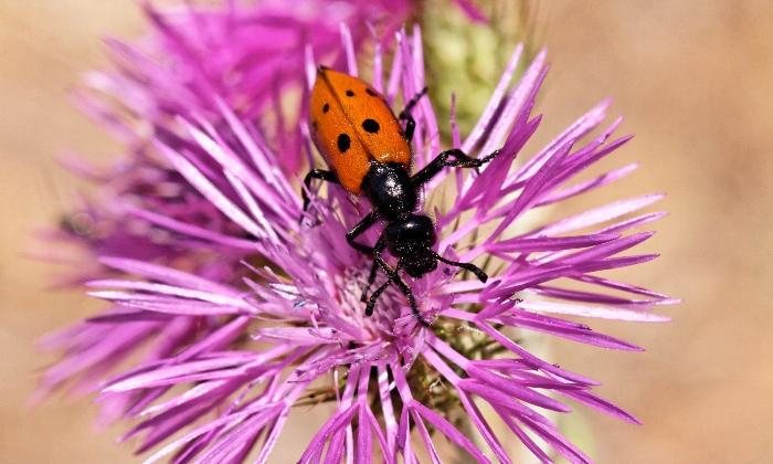 Orange blister beetle with black spots.