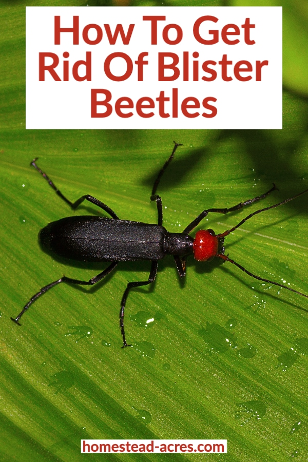 How To Get Rid Of Blister Beetles text overlaid on a photo of a black blister beetle with a red head on a leaf.