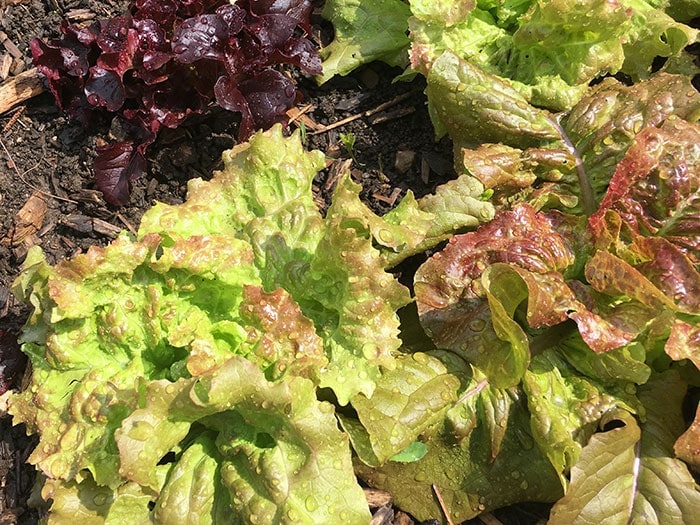 Red and green lettuce growing in the summer garden covered with water drops after being watered.