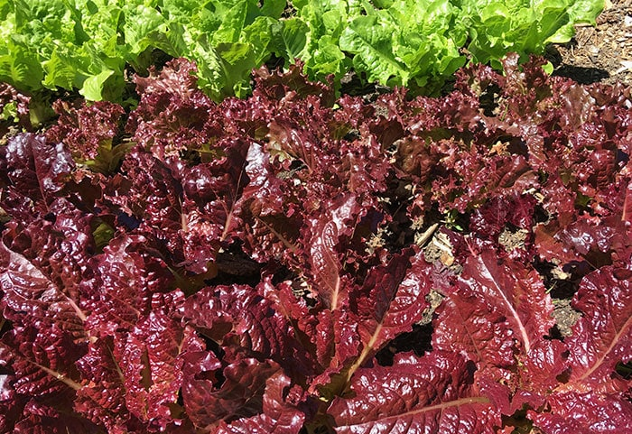 Red leaf lettuce growing in the garden with green lettuc in the background.