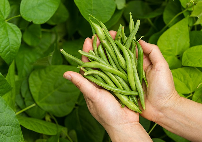 Freshly harvested green beans in a persons hands.