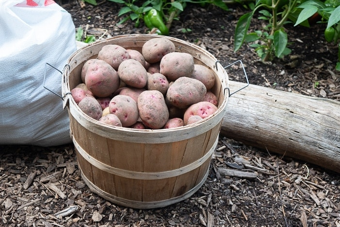 Freshly harvested potatoes from the garden ready to be stored over winter.